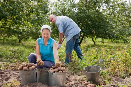 Adult man and woman harvested potatoes in field photo