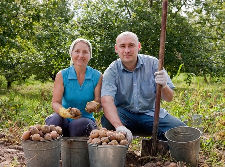 woman and man  harvested potatoes in field photo