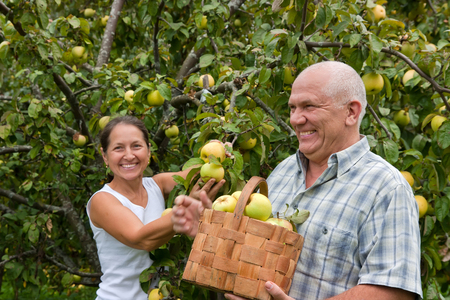 man and woman with  basket of apples in  garden. photo