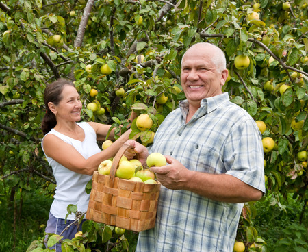Couple picking apples in  basket. photo