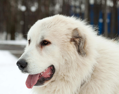 pyrenean mountain dog: Pyrenean mountain dog in winter. Stock Photo