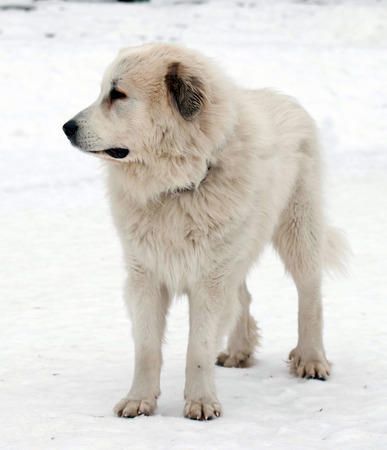 Photo of Pyrenean Mastiff on   street in winter day.