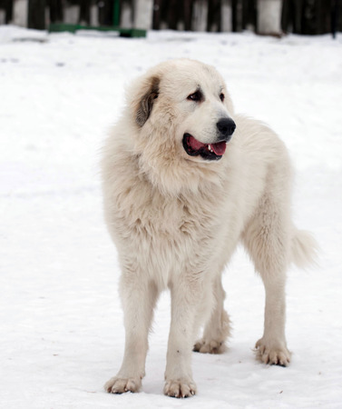 pyrenean mountain dog: Pyrenean Mastiff on   street in winter day.