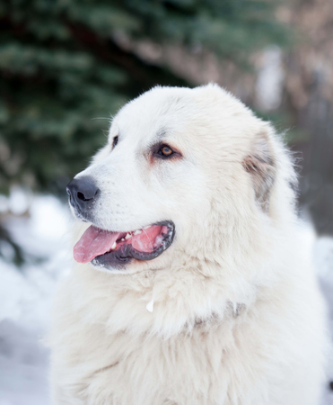 great pyrenees: Photo Pyrenean Mastiff on the street winter day.
