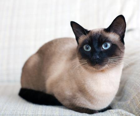 自宅のソファにシャム猫の肖像画。 写真素材