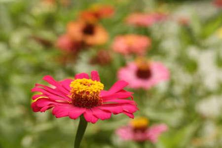 Colorful zinnia1