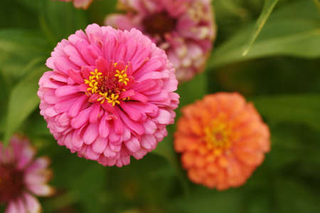 Colorful zinnia2 photo