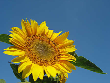 sunflower infront of blue sky