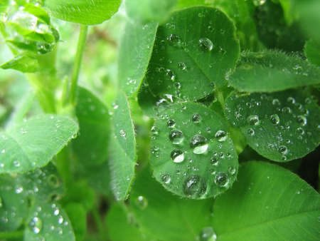 close up of clovers covered in dewdrops photo