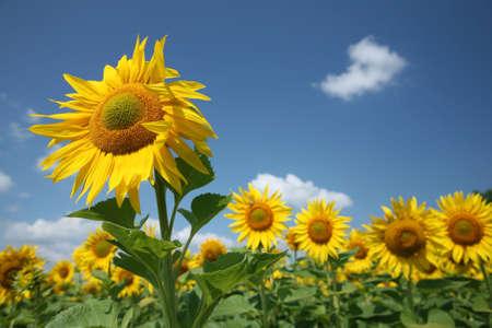 sunflowers against blue sky Stock Photo