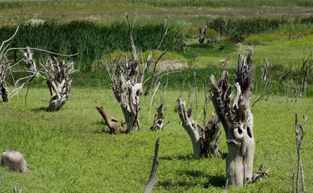 high resolution landscape of dry trees in a marsh