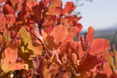 Colorful Sumac leaves in autumn Stock Photo
