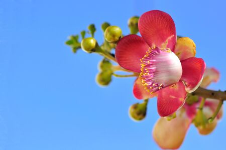 A beautiful macro shot of a flower from the unusual cannonball tree (Couroupita guianensis) photo