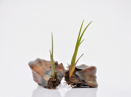coconut seedlings: Sprout of Nipa Palm ,tree in mangrove forest Stock Photo