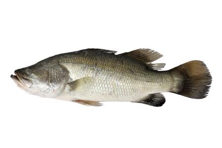 fish selling: Barramundi isolated on the white
