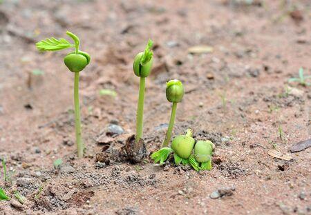 progressively: Tamarind seedlings growing in nature Stock Photo