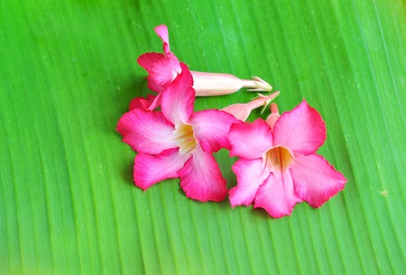 impala lily on banana leaf  photo