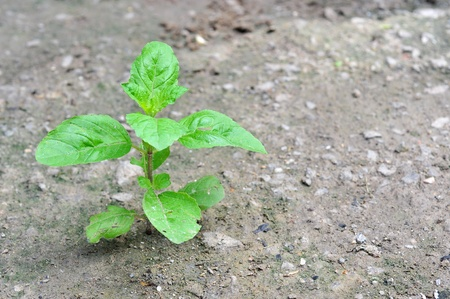 yong plant growing in nature,Holy Basil; Sacred Basil photo