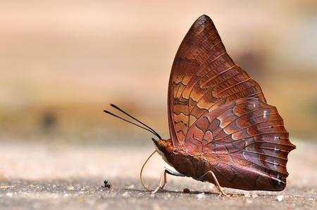 rajah: Red mariposa (Rajah Tawny, Charaxes Bernardus) en la naturaleza Foto de archivo