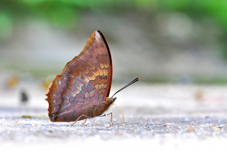 tawny: Red butterfly (Tawny Rajah, Charaxes bernardus) in nature Stock Photo