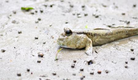 lungfish: mudskipper,fish