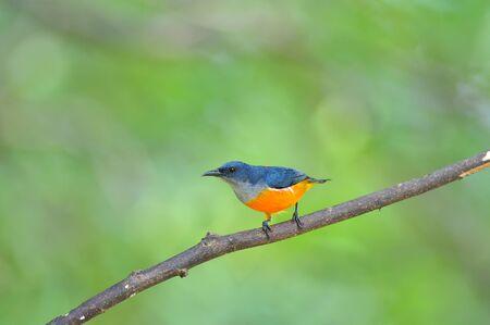 aves: colorful bird (Orange-bellied Flowerpecker)
