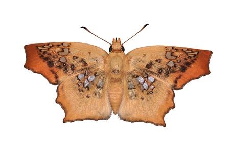 tawny: brown butterfly (Tawny Angle, Ctenoptilum vesava)