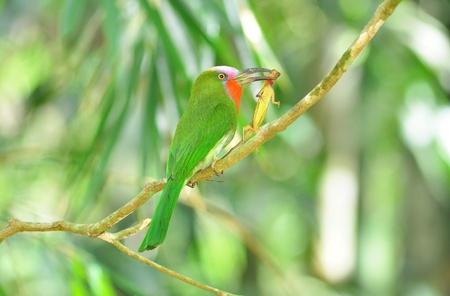 prin: Red de barba Abejaruco en la rama con la comida en la boca para alimentar a sus polluelos en el nido agujero, Nyctyornis amictus, pájaro, pájaro verde