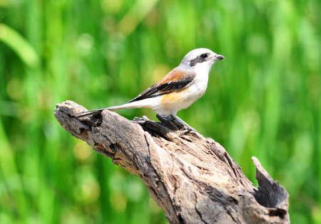 vittatus: Bay-backed Shrike Bird  Lanius vittatus , New record bird in Thailand