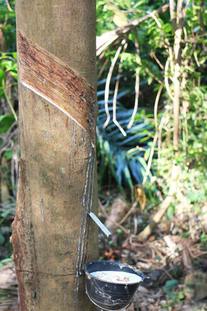 Tapping latex from a rubber tree  krabi Thailand photo
