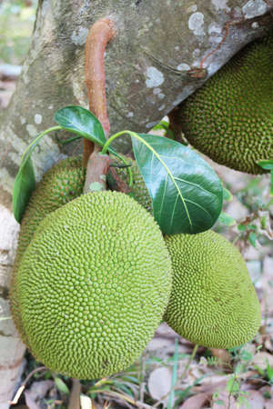 agricultural essence: jack or jak; scientific name Artocarpus heterophyllus  on a tree Stock Photo