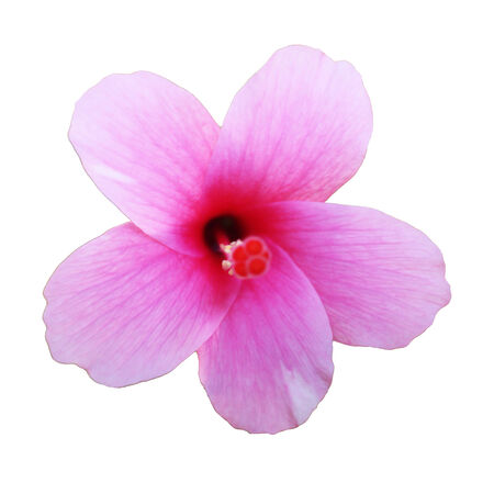 melodious: Pink hibiscus flowers isolated on white background