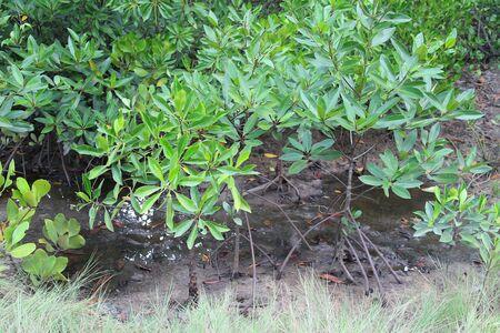 forestation: Mangrove forestation