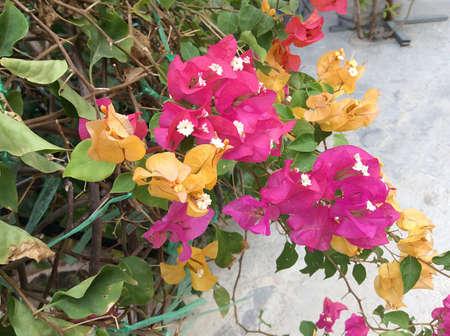 color bougainvillea: Bougainvillea