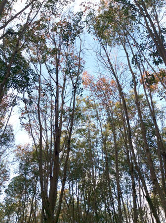 rubber: Rubber tree