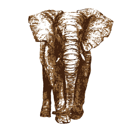 African elephant illustration, isolated on white background