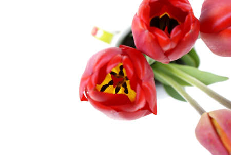 downwards: red tulip seen downwards isolated on white background