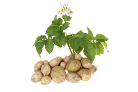 potato bush with potatoes isolated on white background photo