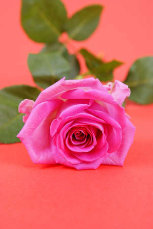 beautifull ful-blown rose on red background  photo