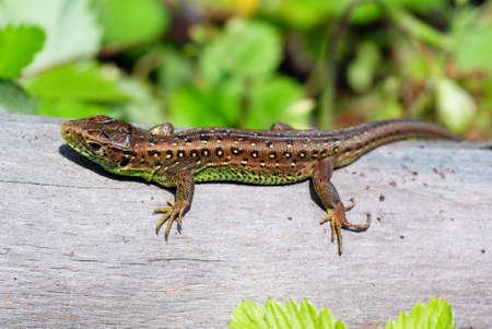 animal viviparous: green- brown lizard on tree in forest Stock Photo