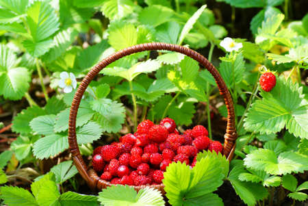 wild strawberry: wild strawberry stand in basket  on soil