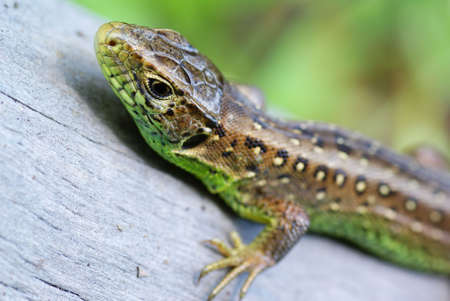 viviparous lizard: green- brown lizard on tree in forest Stock Photo
