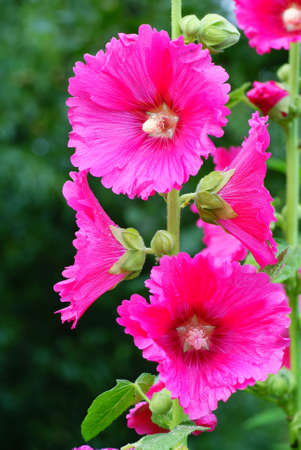 pink full-blown hollyhock on green background