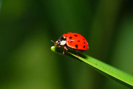 red speckled  ladybird on green grass Stock Photo - 5333149
