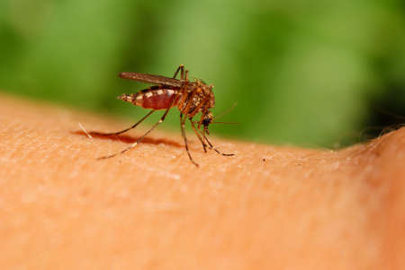 mosquito drinks human blood on green background photo