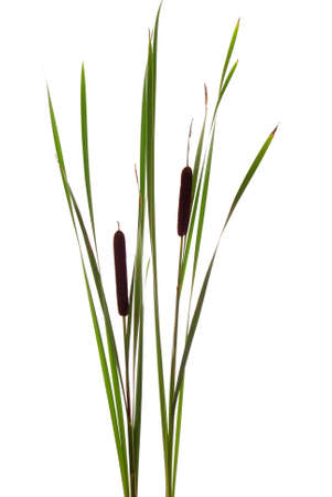 cattails: big brown cattails stands on white background Stock Photo