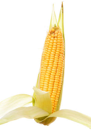 raw and ripe corn on white background photo