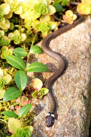 grass snake: piccola biscia si trovano su pietra