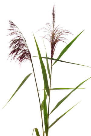 high  reed grass on white background