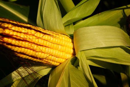 yellow corn on stem on  field background photo